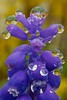 Grape Hyacinth by Broot - Thanks for 3/4 million views!!