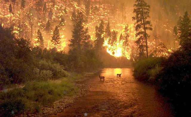 Bitterroot Forest Fire.Deer (elk) by John McColgan