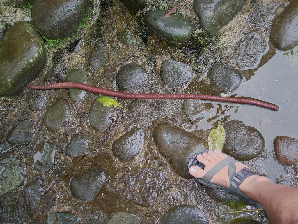 Giant earthworms for Fishing worm farm