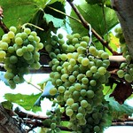 Grapes in Hunza