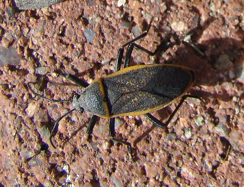 arizona orange black fauna bug insect az canyon dorsal unidentified aztrip hemiptera beattysguestranch millercanyon heteroptera huachucamountains huachucas largus largidae