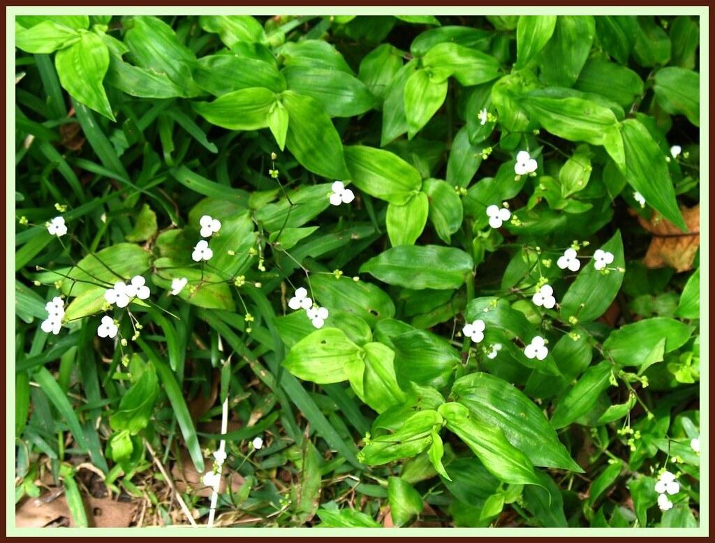 Gibasis geniculata 3521251478_e164ff0271_b