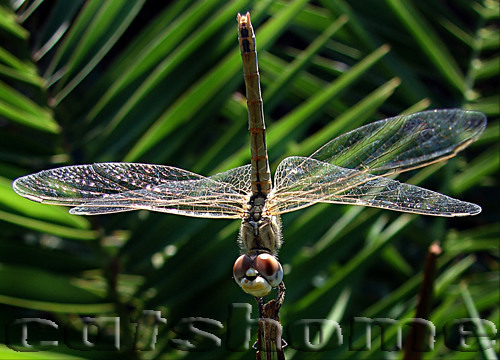 MACRO PHOTOGRAPHS BY CATSHOME :  DRAGON FLY