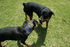 dog breed, animal, dog, huntaway, german pinscher, pet, lancashire heeler, mammal, jagdterrier, vulnerable native breeds, transylvanian hound, austrian black and tan hound, polish hunting dog, rottweiler,