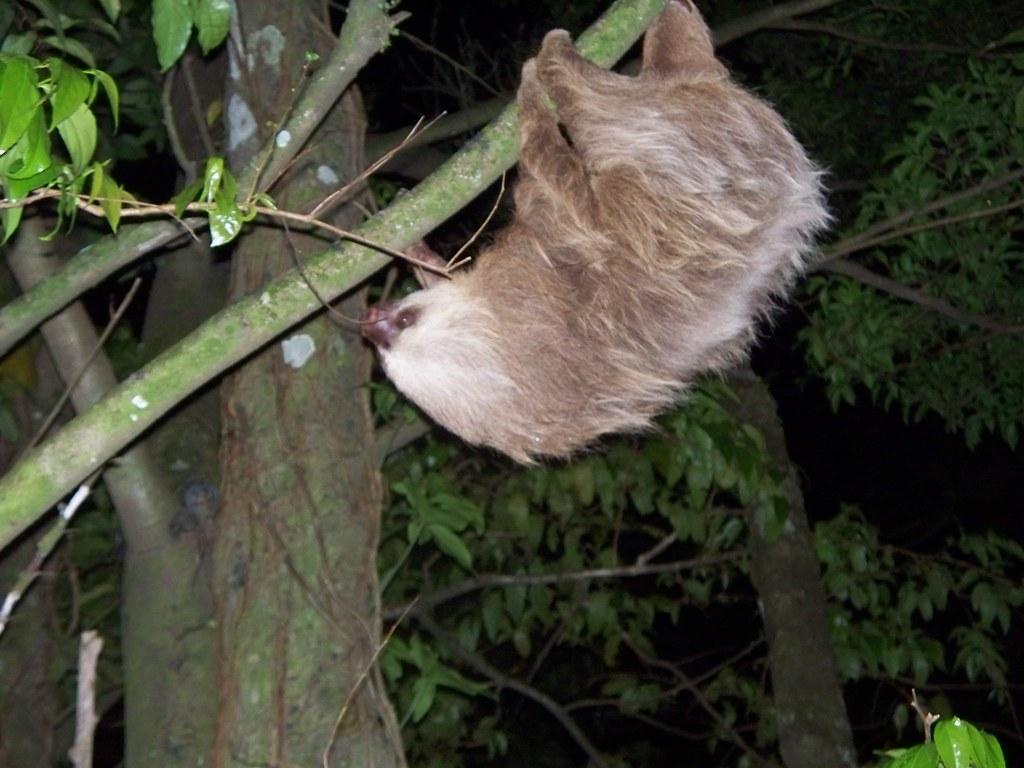 Sloth - Monteverde,  Costa Rica