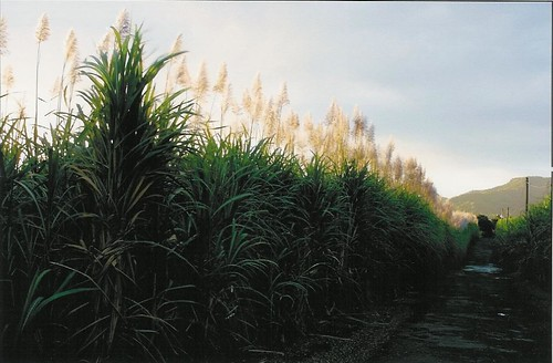 Sugar cane fields in the South of Mauritius