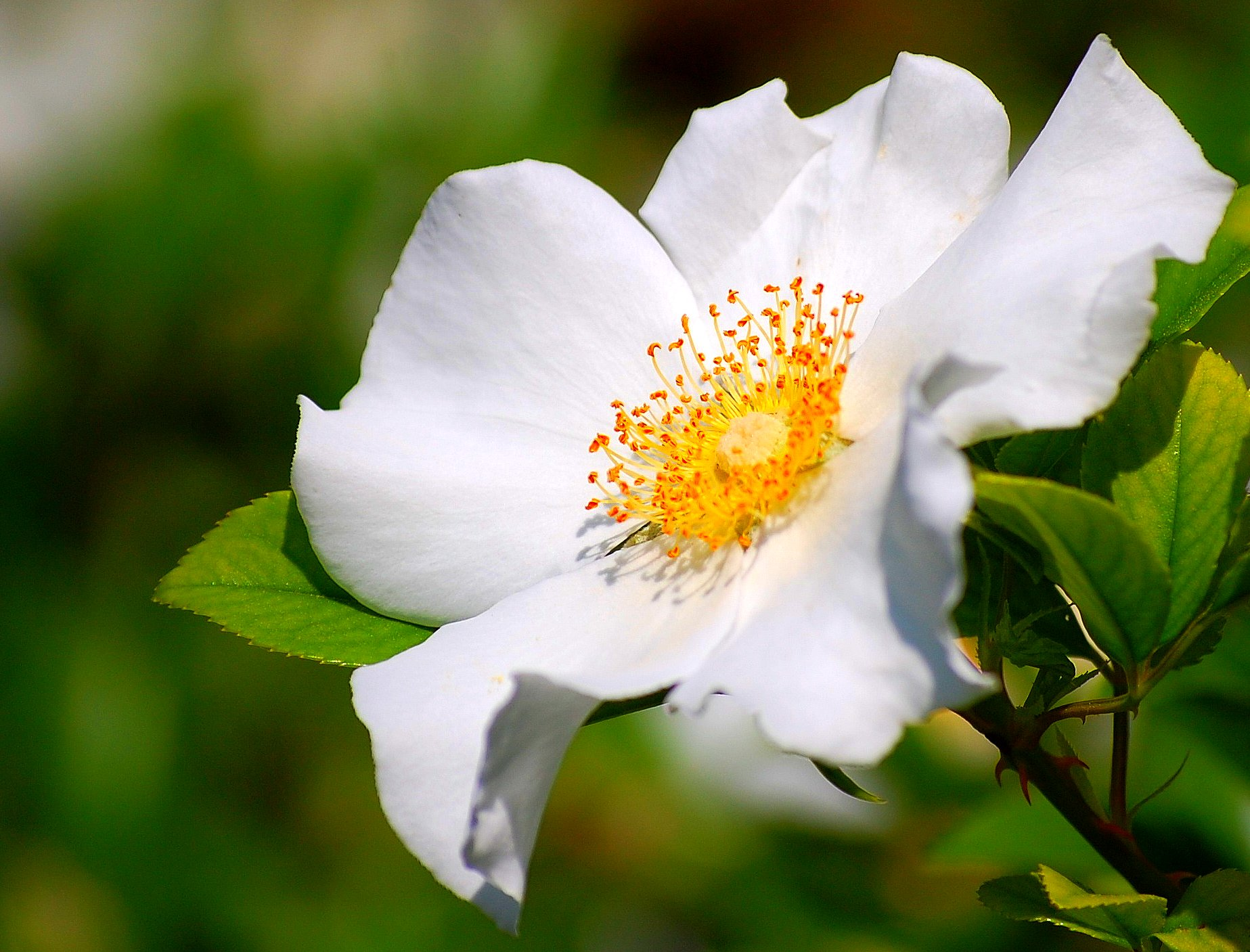 cherokee rose rosa laevigata also known as camellia rose
