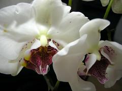 blossom(0.0), cattleya labiata(0.0), cattleya trianae(0.0), flower(1.0), plant(1.0), macro photography(1.0), laelia(1.0), phalaenopsis equestris(1.0), flora(1.0), close-up(1.0), petal(1.0),