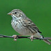 Vesper Sparrow - Photo (c) Jerry Oldenettel, some rights reserved (CC BY-NC-SA)