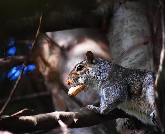 VR shot: a Squirrel up a tree with a big nut in his mouth
