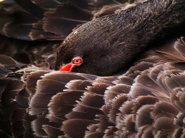 Trauerschwan = Black Swan