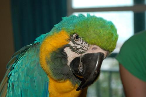 Macaw Chayko (2)