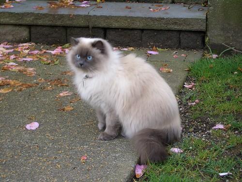 Himalayan_cat2