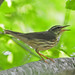 Louisiana Waterthrush - Photo (c) Jerry Oldenettel, some rights reserved (CC BY-NC-SA)