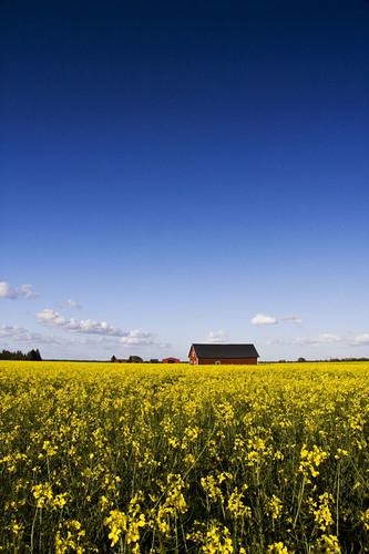 blue red field yellow barn seed rape oil linköping rapeseed östergötland canonefs1785mmf456isusm johanklovsjö