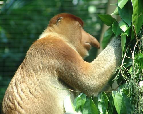 Probiscis Monkey {Nasalis larvatus}