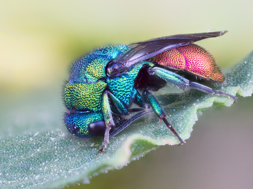 Little jewel - Hymenoptera Chrysididae Chrysis sp.