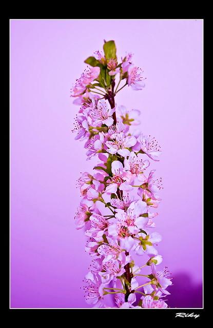 Almendro en Flor - Almond Flower