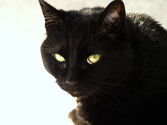 nose, animal, small to medium-sized cats, pet, european shorthair, black cat, bombay, close-up, cat, carnivoran, whiskers, black, domestic short-haired cat,