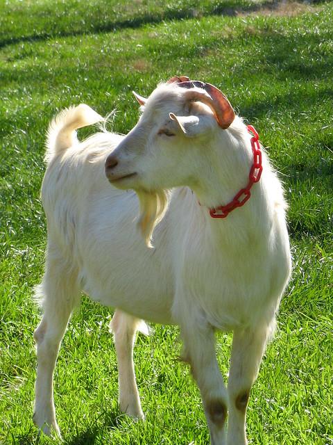 Saanen Dairy Goat Flickr Photo Sharing