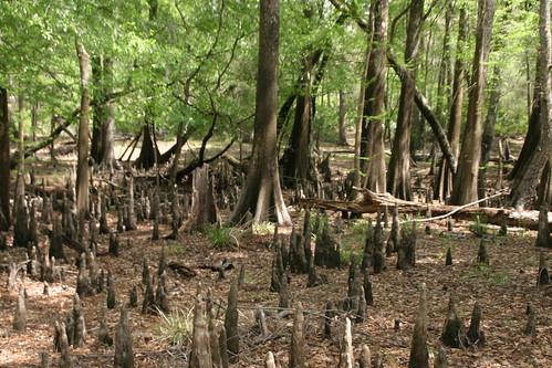 florida cypress knees olenostatepark floridaparkservice