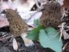 Morel Mushroom Hunting -- Biggest Haul Ever!
