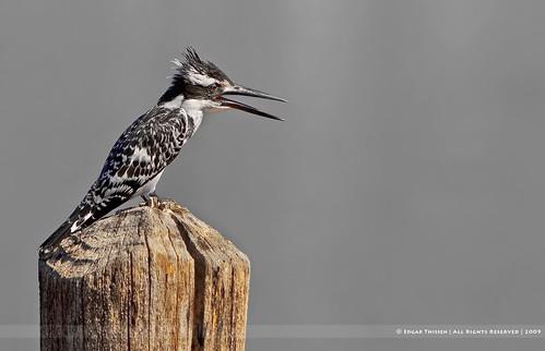 africa bird nature birds wildlife kingfisher gambia pied wmp the piedkingfisher naturesfinest ijsvogel cerylerudis lamin edgarthissen specanimal avianexcellence 40622