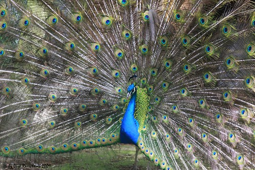 French Peacock
