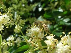 Ape imbrattata di polline su Ligustro