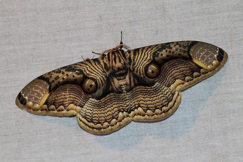 Brahmaea hearseyi (Brahmaeidae)