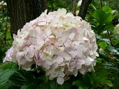 shrub(1.0), cornales(1.0), flower(1.0), hydrangea serrata(1.0), plant(1.0), lilac(1.0), viburnum(1.0), petal(1.0),