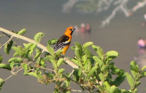 Aves de El Salvador.  Chiltota