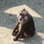 Macaque de Tonkean