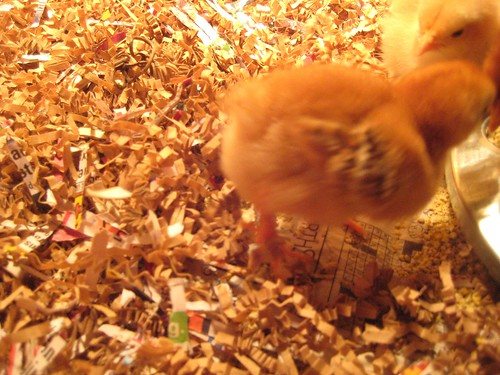 chick, chickens, shredded paper, cute, babi… IMG_1843