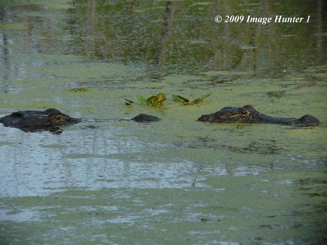 Two headed alligator. (Just kidding!) | Flickr - Photo ...