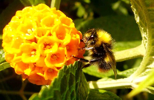 Bee on buddleia globosa.