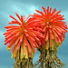 Red hot pokers