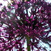 Allium in morning sunshine