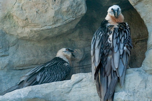 Bartgeier - Bearded Vulture