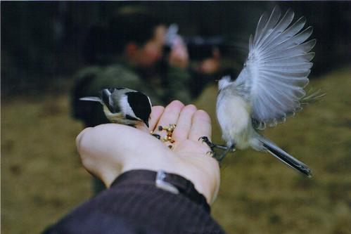 Quabbin Chickadees 40/365