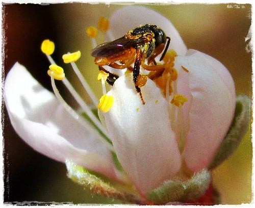 Jataí na flor de pessego