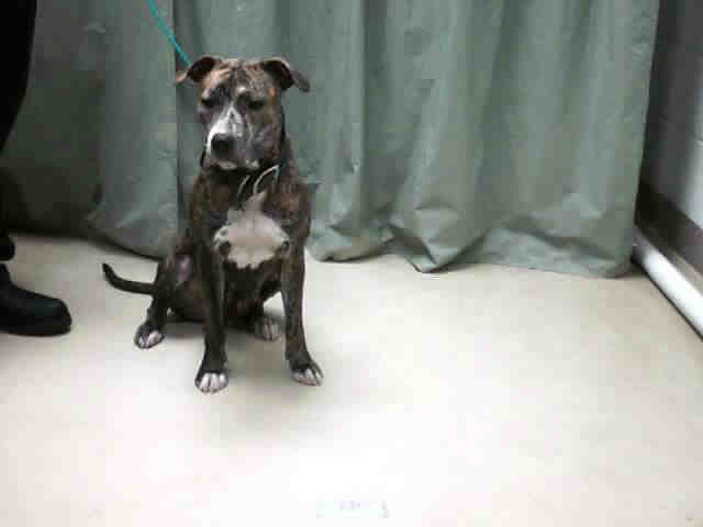 Dark Brindle With White Chest American Pit Bull Terrier Flickr Photo Sharing