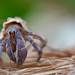 Coenobita purpureus okinawa land crab