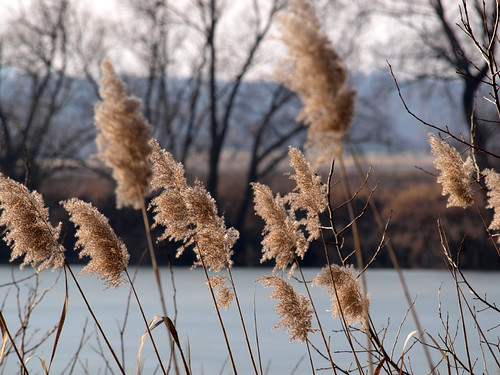 Reed by the lake