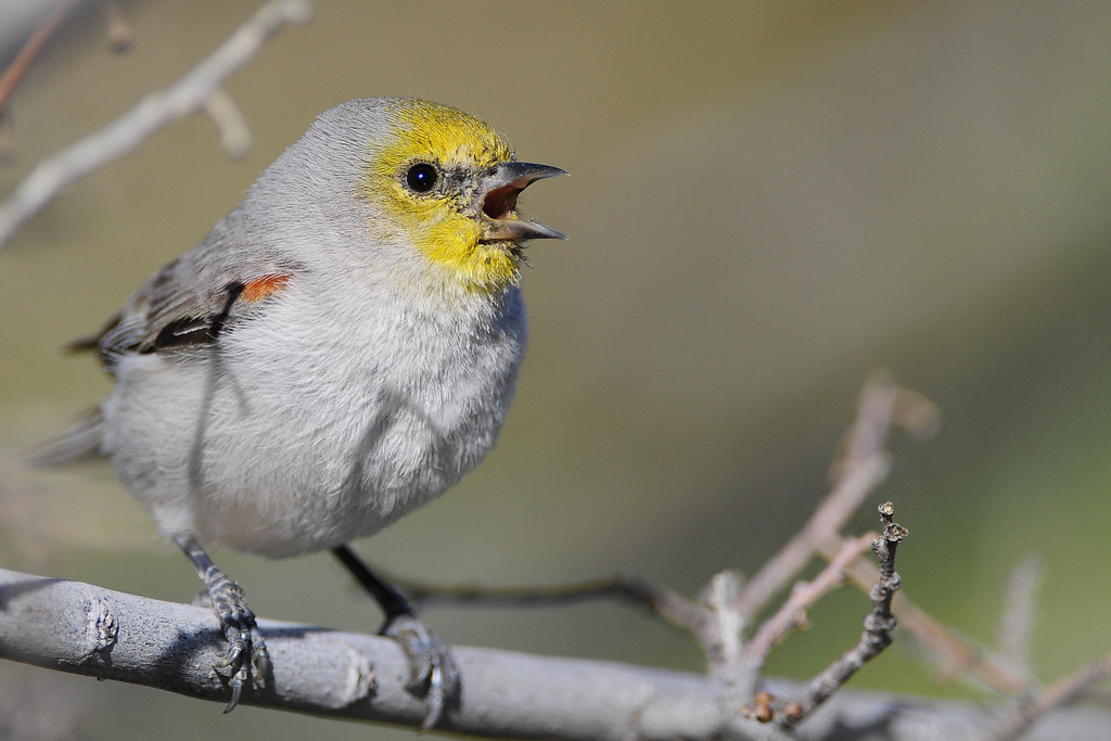 Gilbert Water Ranch verdin