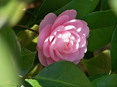 shrub(0.0), camellia(1.0), camellia sasanqua(1.0), flower(1.0), plant(1.0), flora(1.0), camellia japonica(1.0), theaceae(1.0), petal(1.0),