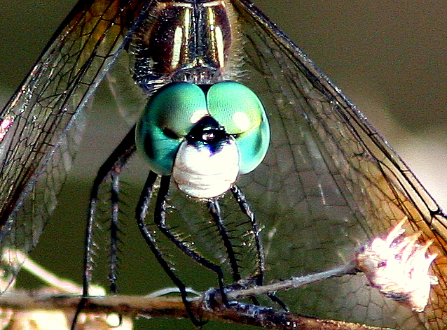 Dragonfly Face 20090416