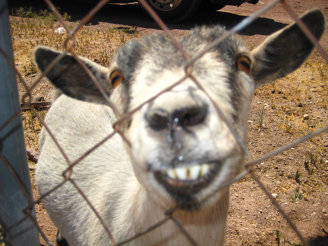Smiling Goat | Explore alexamen14's photos on Flickr ...