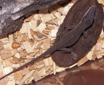 Anolis carolinensis 3609683579_2740dc296f_o