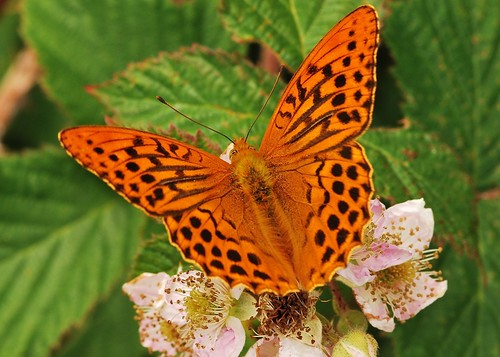 Silver-Washed Fritillary (Argynnis paphia) Feeding On Bramble Flowers